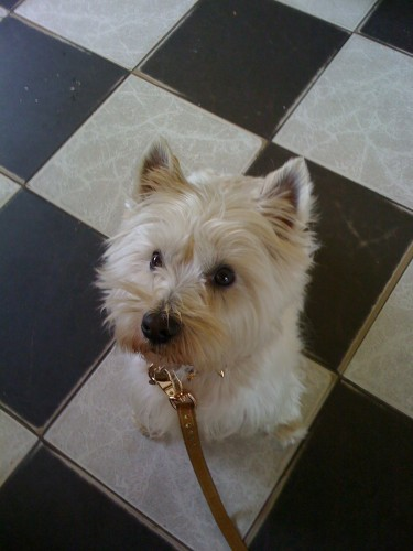 Spikey, de Westie (West Highland White Terrier)